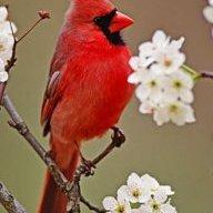 cardinalny